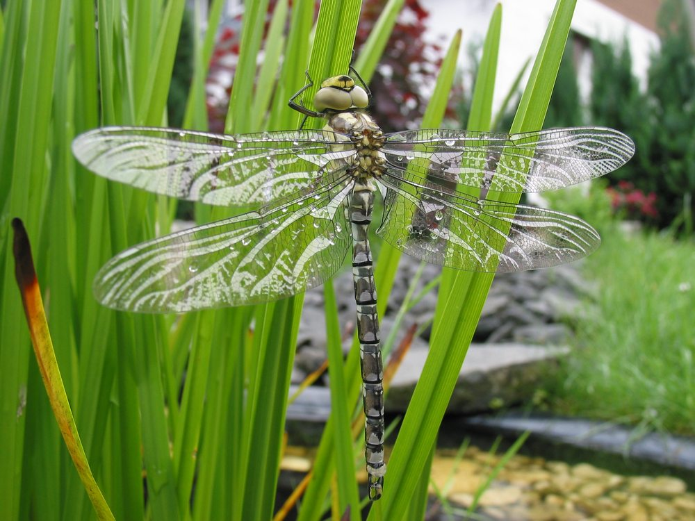 Libelle nach dem schlüpfen, kurz vor dem ersten Flug