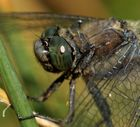 Libelle - Nahaufnahme