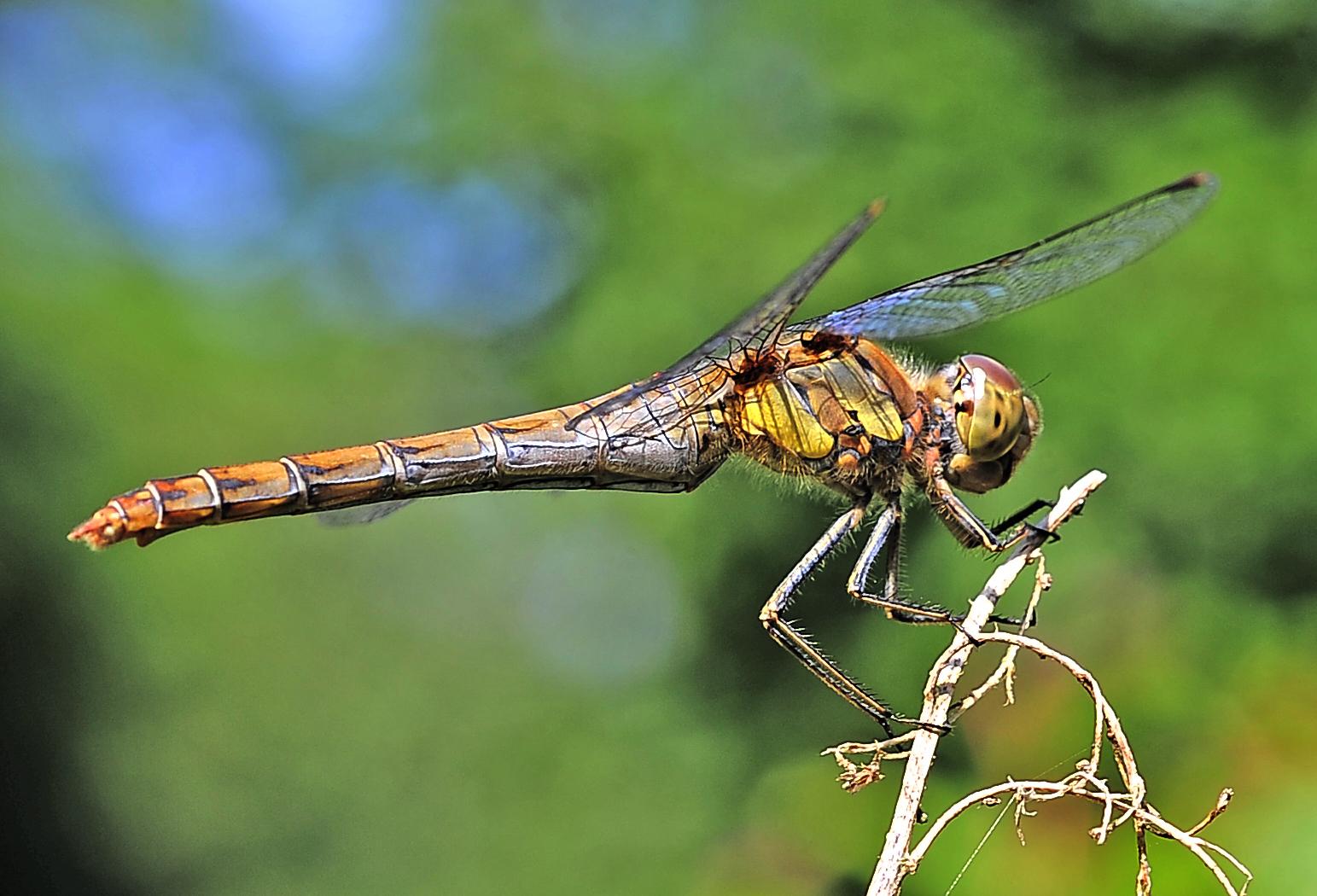 Libelle... noch eine