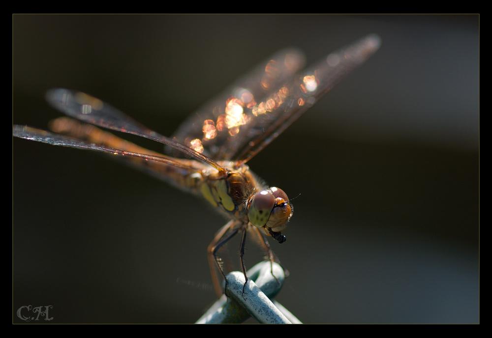Libelle Nr. 2