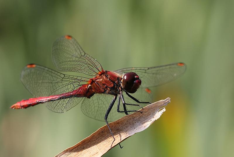 Libelle Nr. 3