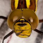 Libelle Portrait Gelbe Keiljungfer