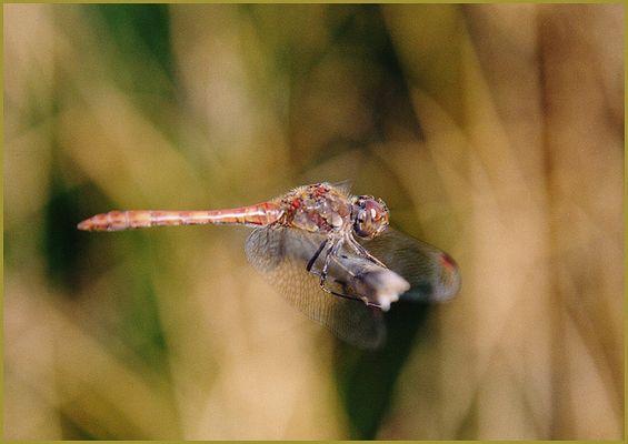 Libelle... (rot)