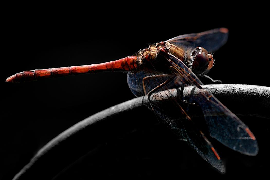 Libelle rot