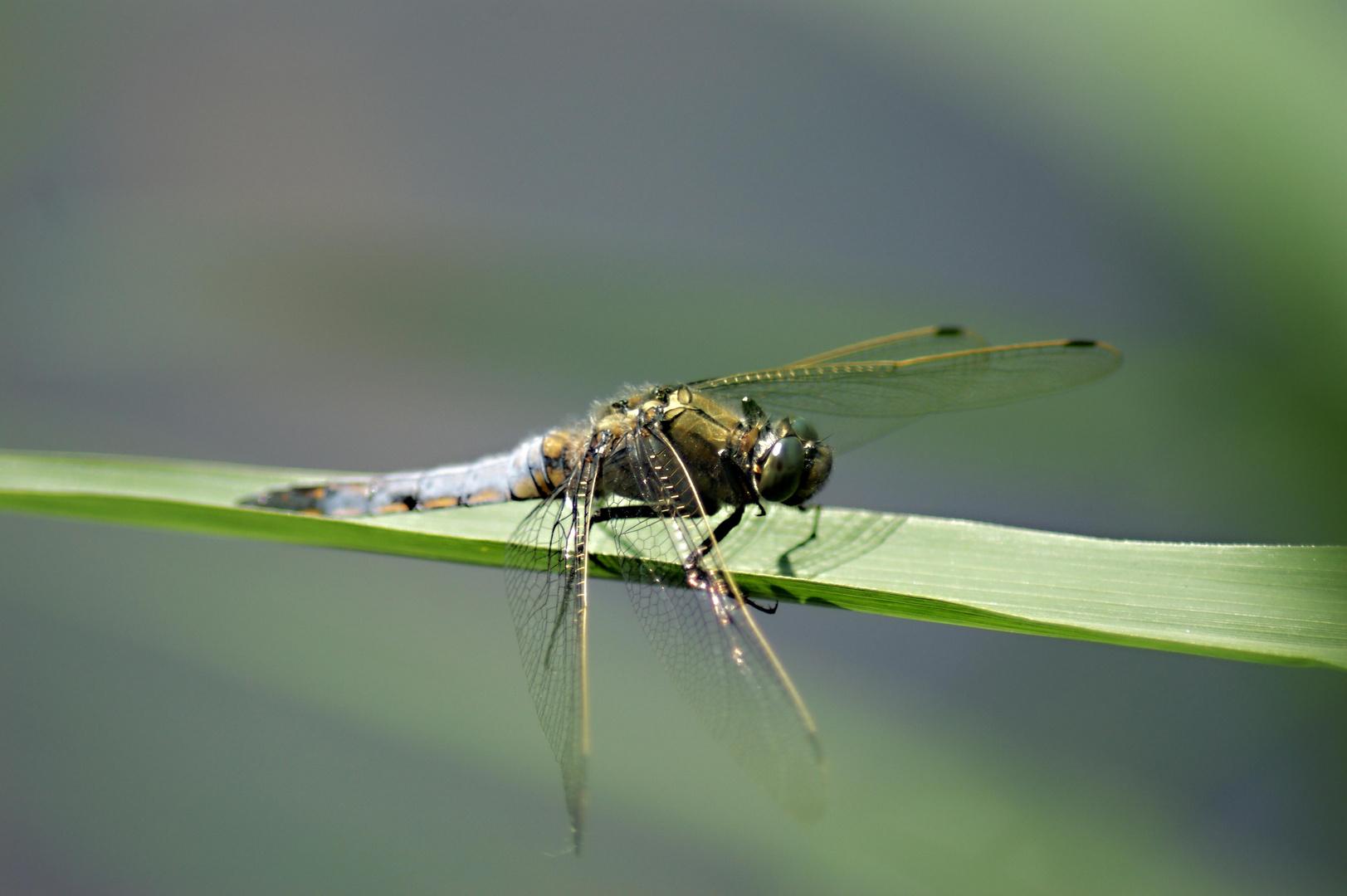 Libelle seitlich