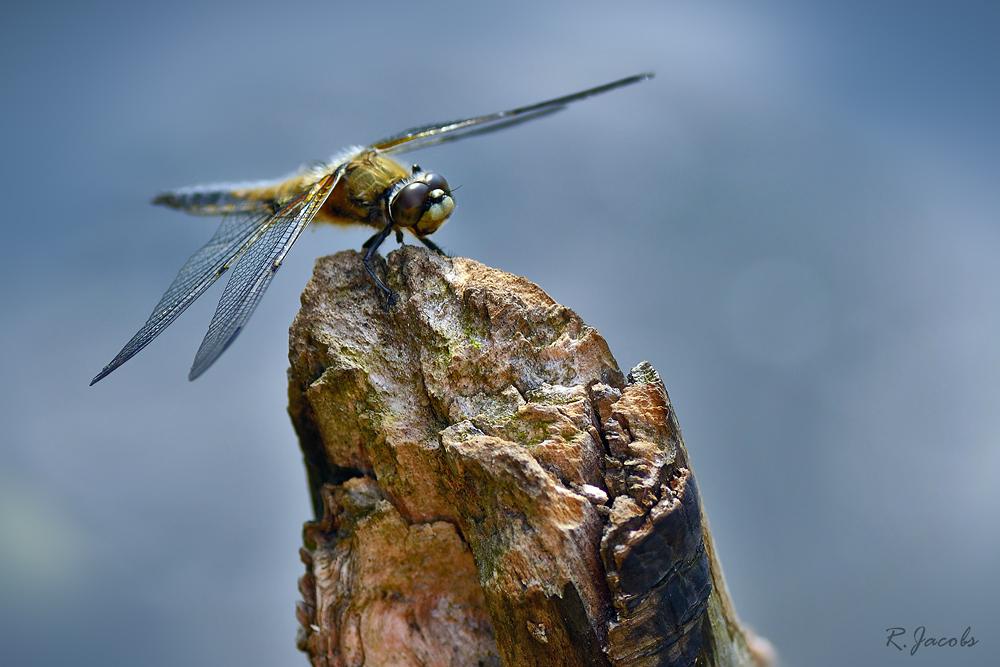 Libelle Sonnenbad