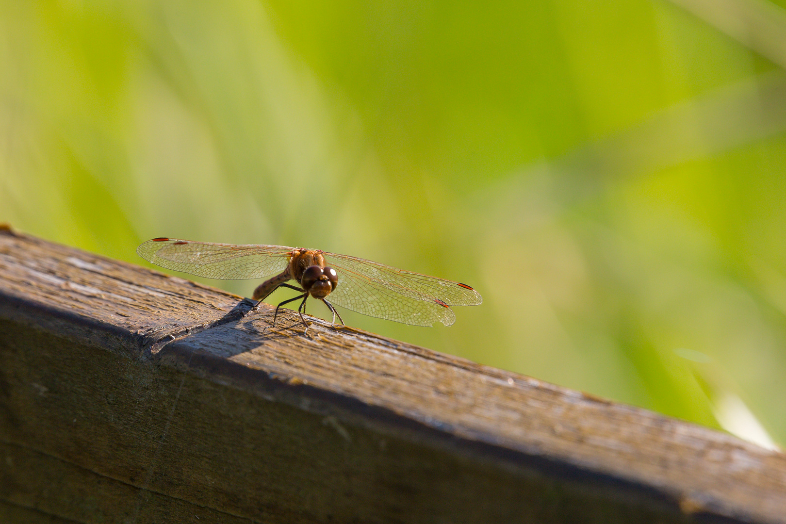 Libelle Stockweiher