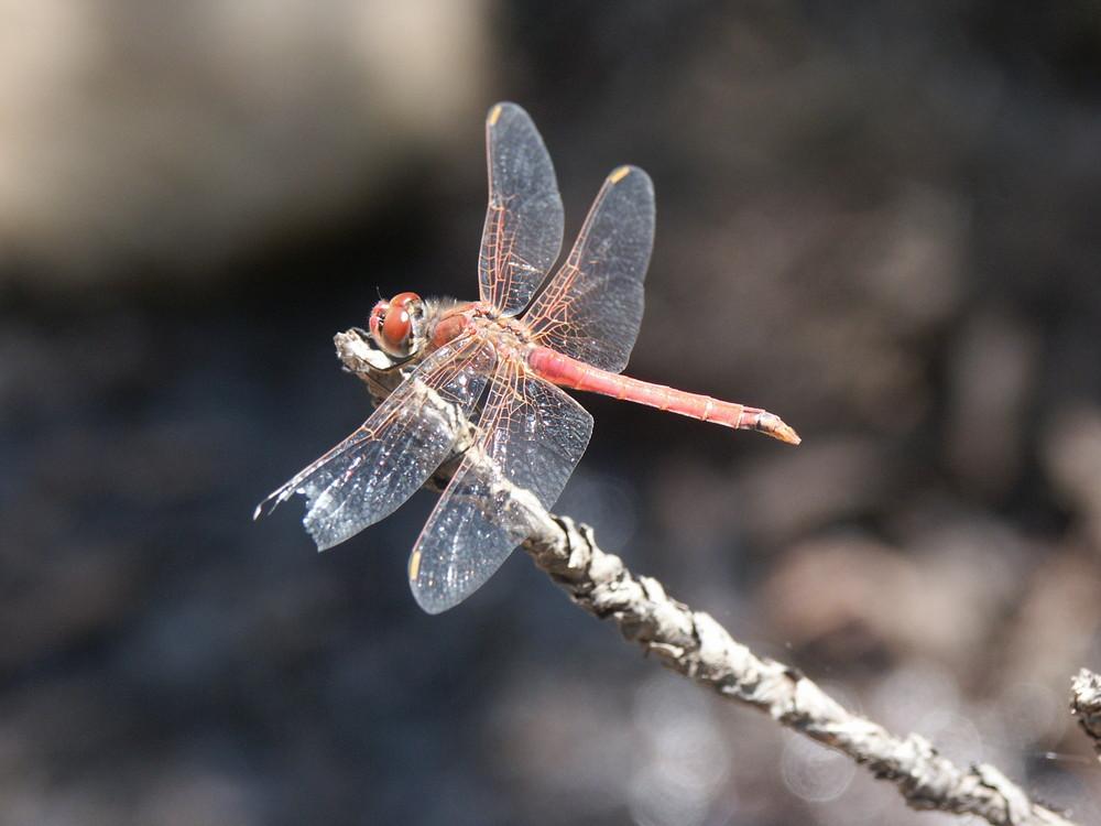 Libelle Südafrika