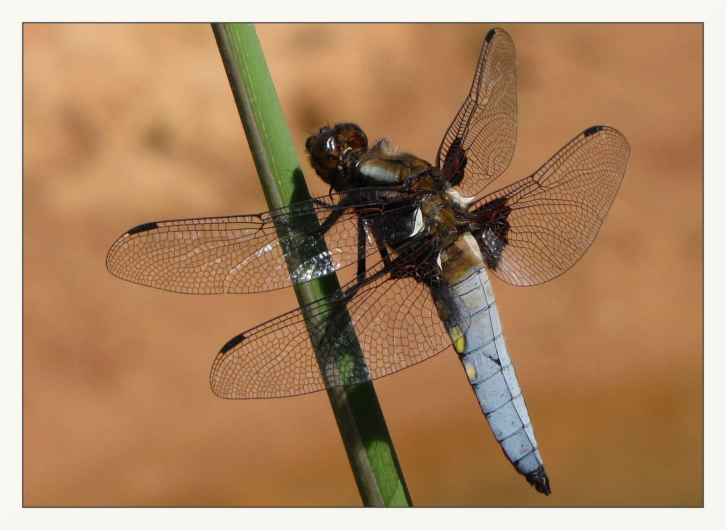 Libelle, und zwar eine .....