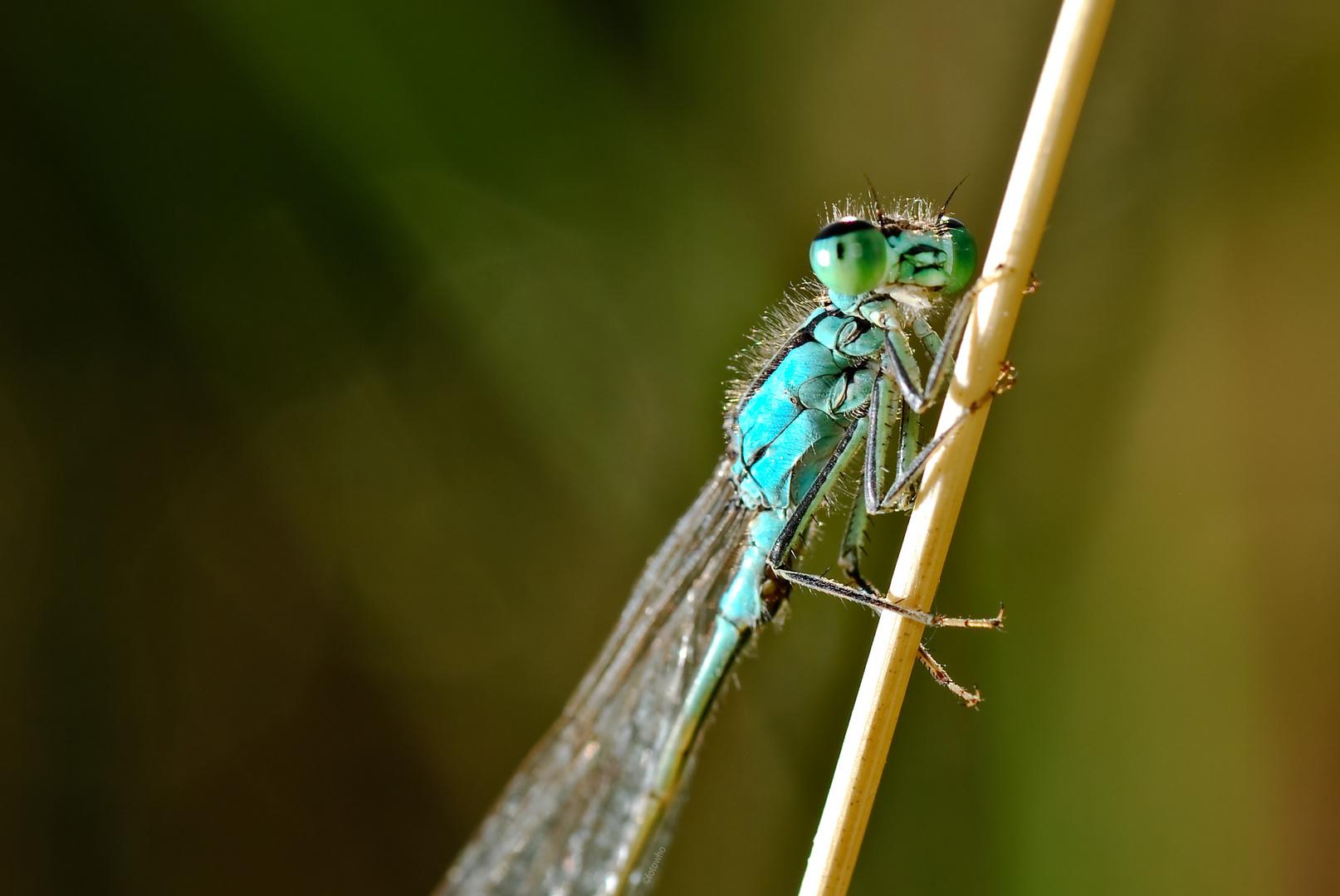 Libelle v1