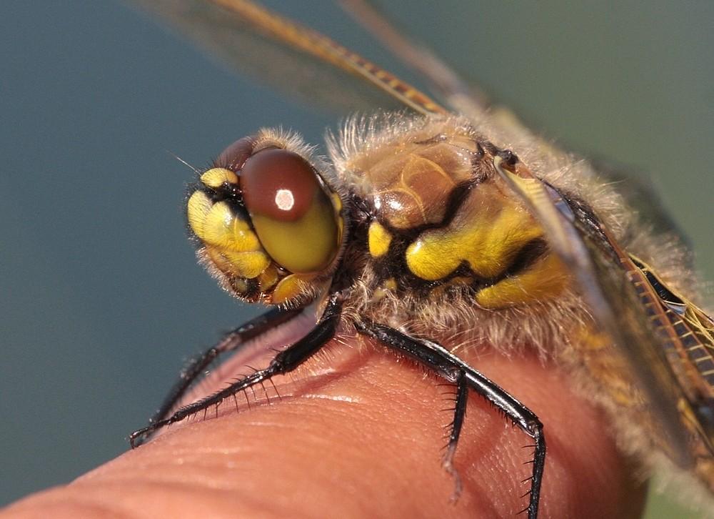 Libelle (Vierfleck) auf meinem Finger