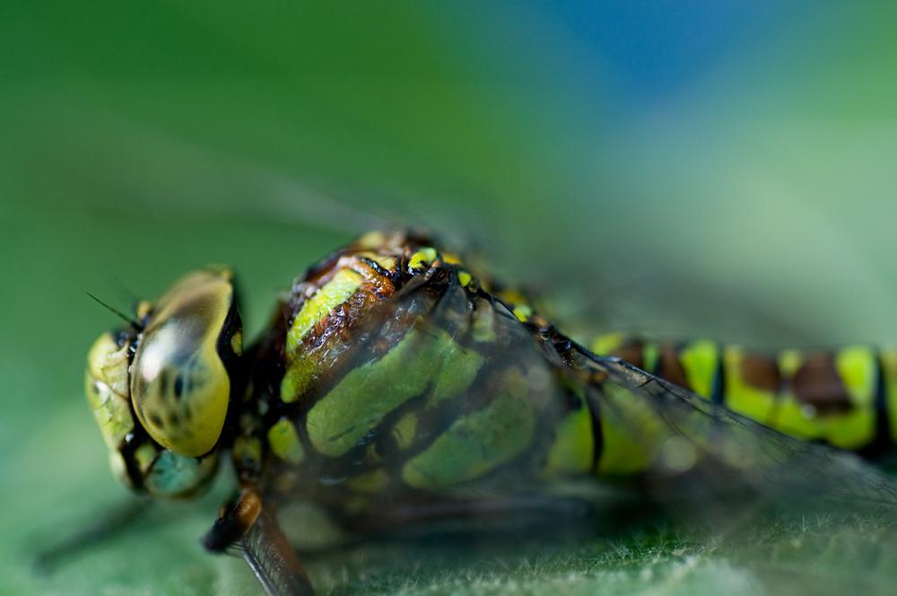 Libelle von der Seite