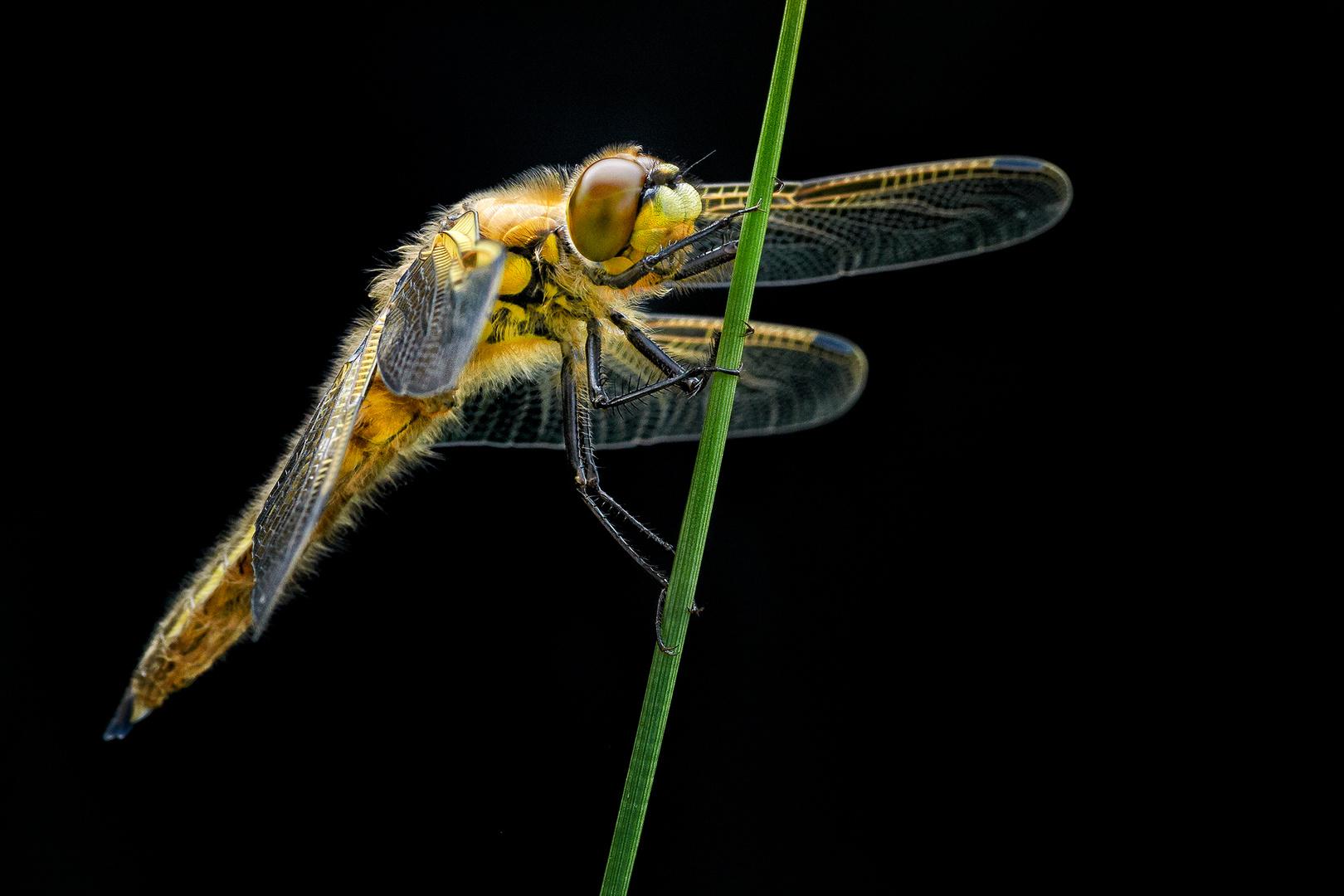 Libelle vor dem Abflug