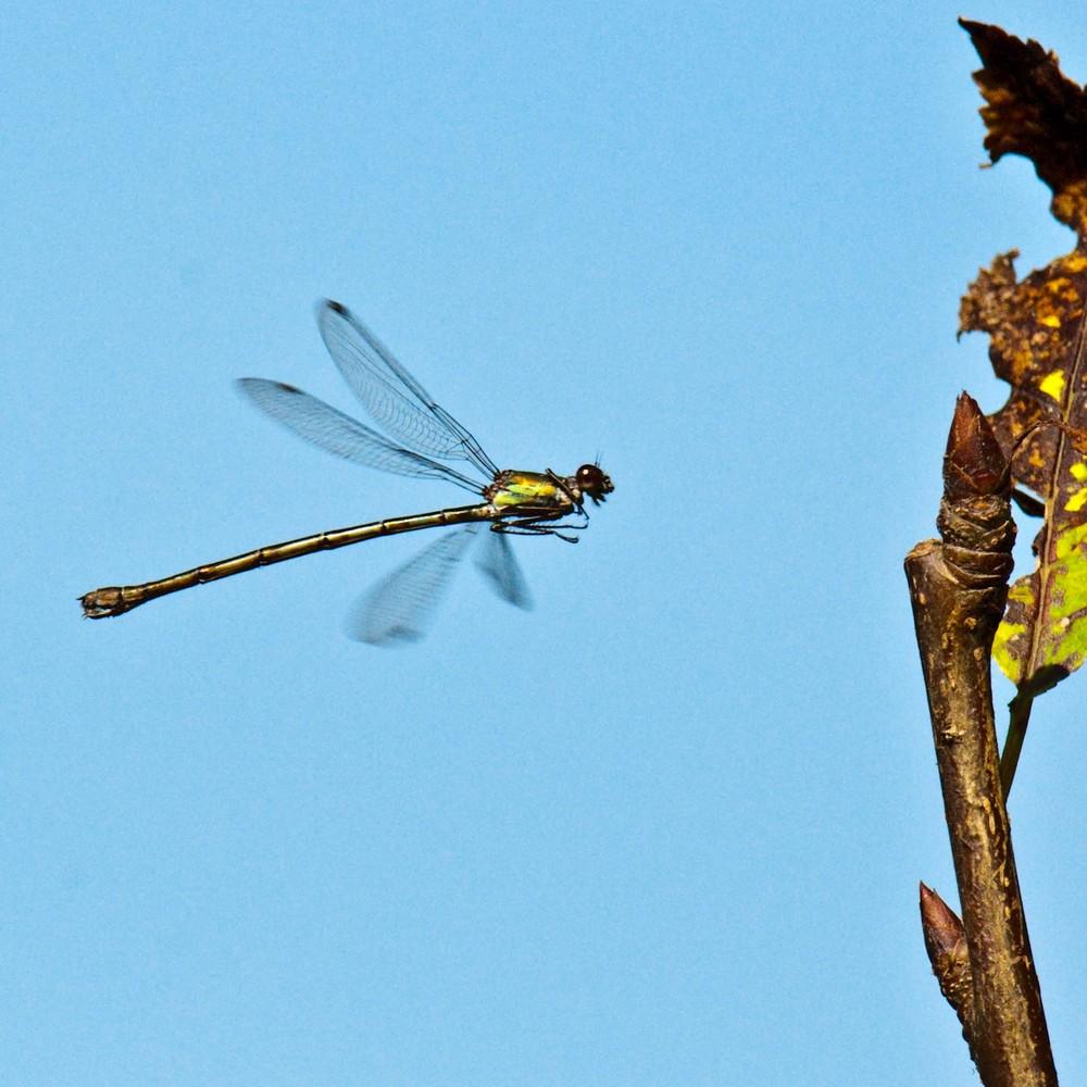Libelle - Weidenjungfer im Anflug