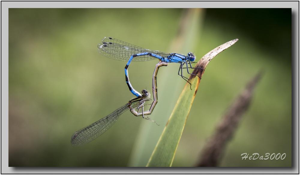 Libelle02