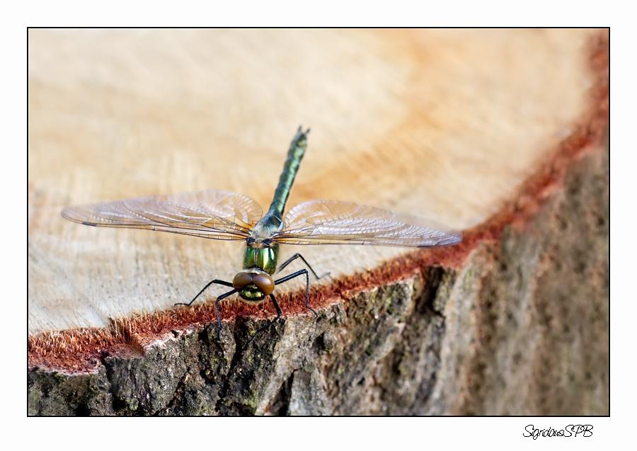 Libelle.....auf einem Baumstamm