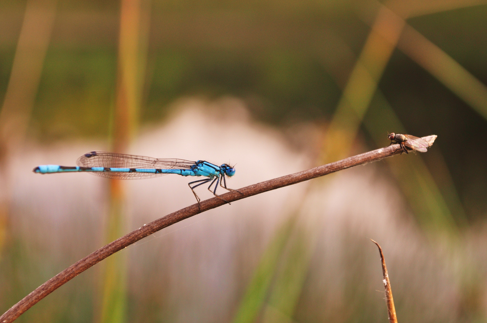 Libelle/Fliege