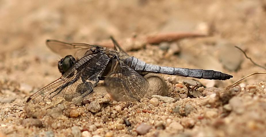 Libellen am See -2-