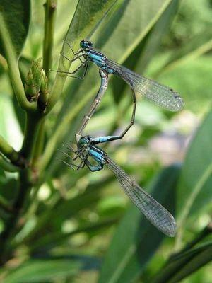 Libellen beim Liebesspiel