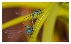Libellen Doppelpack