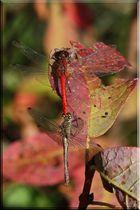 Libellen-Duopack im Herbst