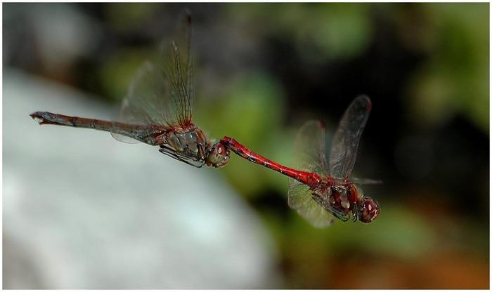 Libellen im Sturzflug