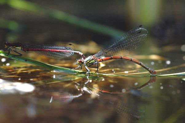 Libellen im Teich