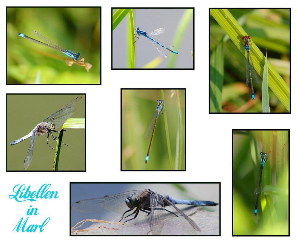 Libellen in Marl / NRW