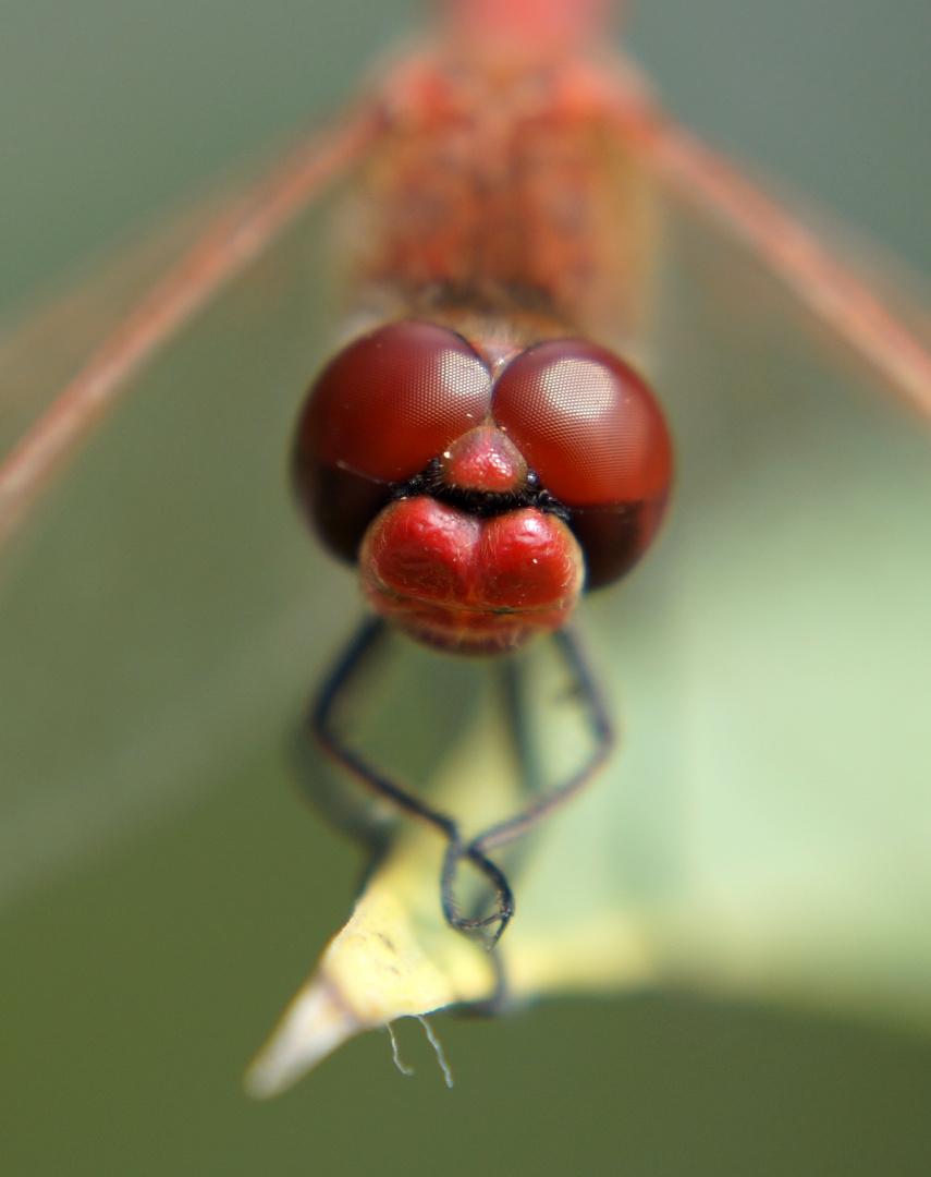 Libellen Kopf