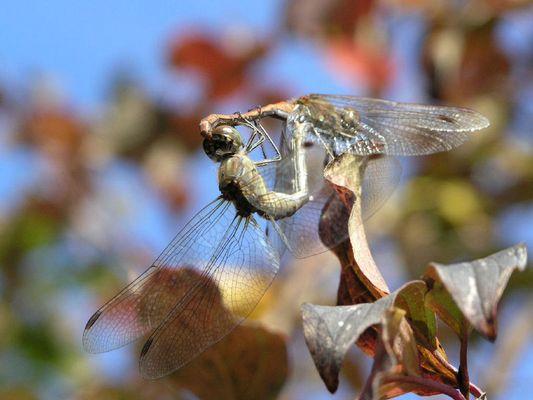 Libellen-Liebe