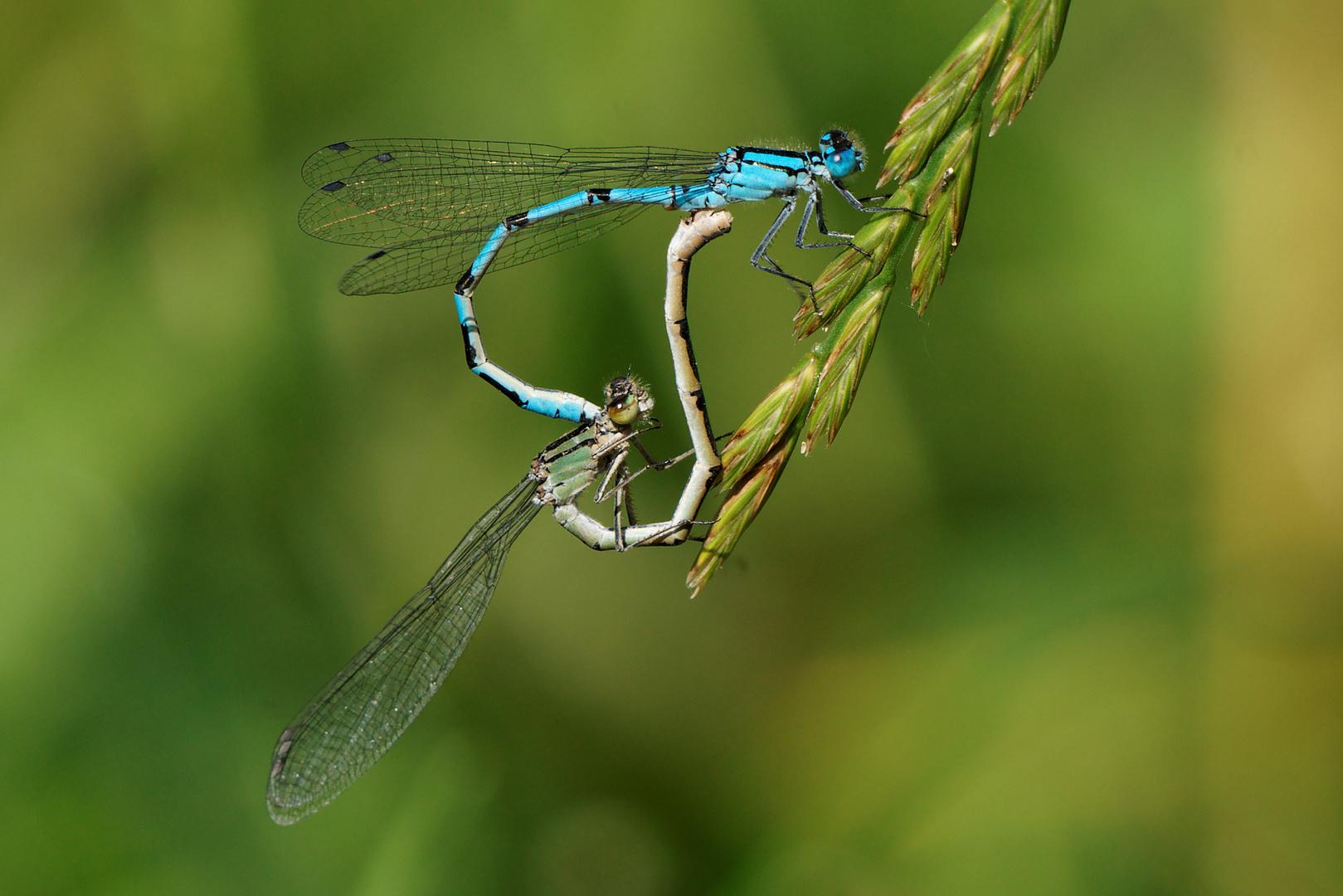 Libellen Liebe