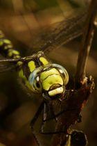 Libellen Makro