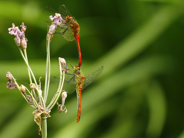 Libellen Paar 2