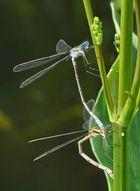 Libellen-Pärchen