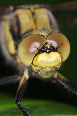 Libellen-Porträt