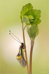 Libellen-Schmetterlingshaft
