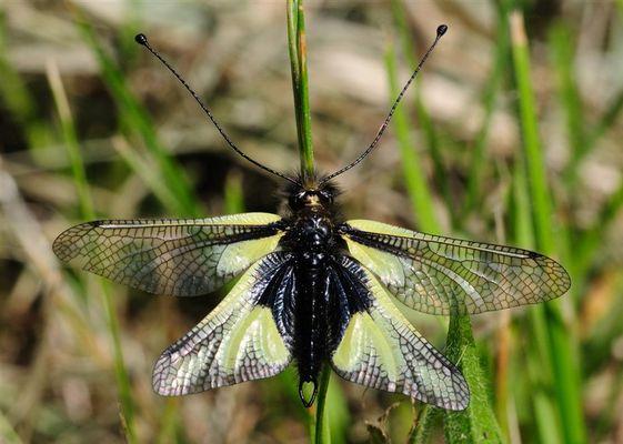 Libellen-Schmetterlingshaft (Libelloides coccajus) - Mondhalde - Kaiserstuhl