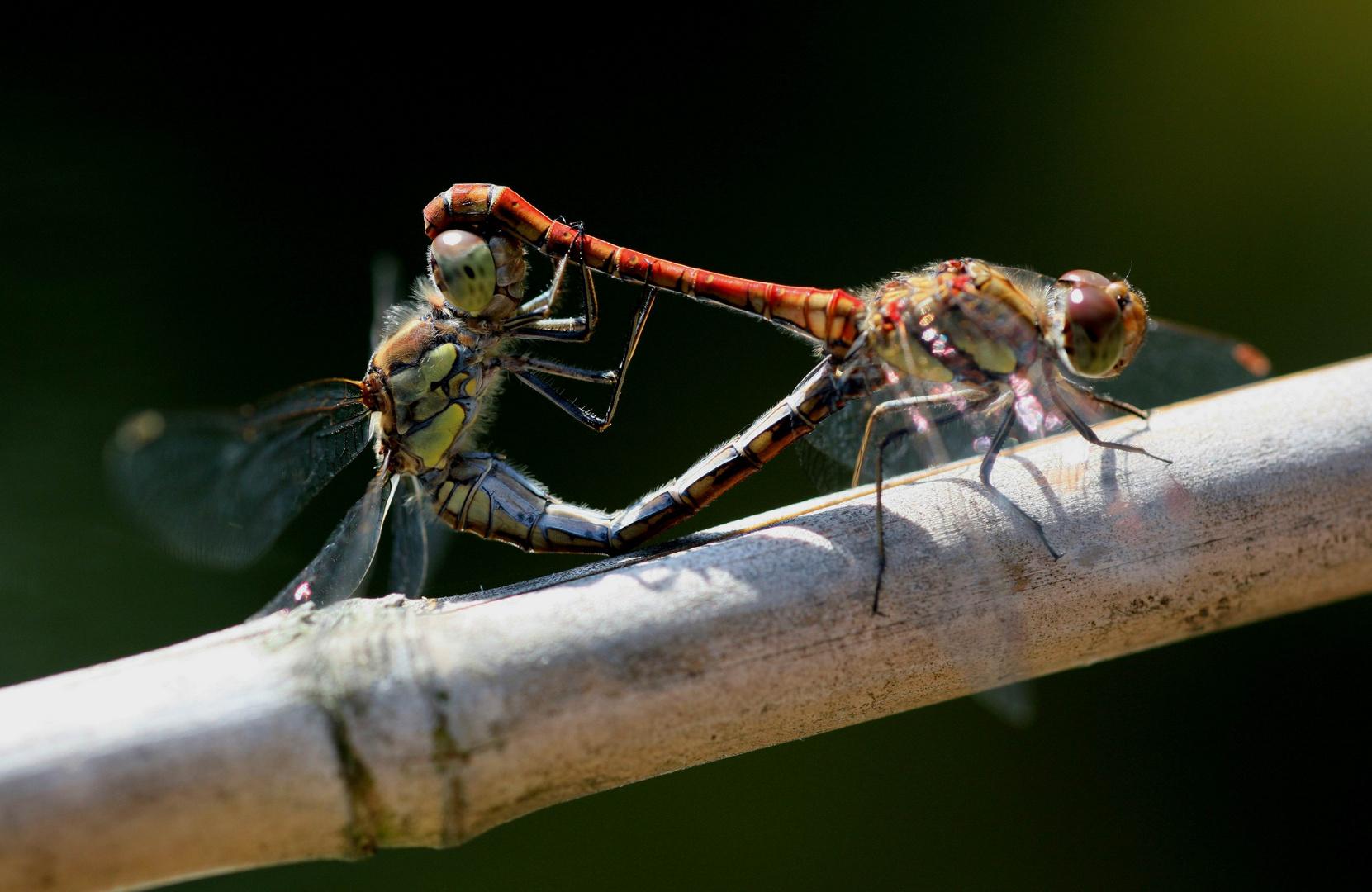 Libellen sorgen für Nachwuchs ?
