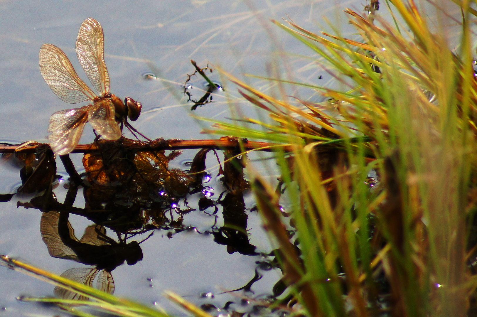 Libellen - Spiegelung