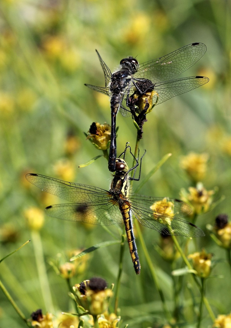 Libellen-Tandem