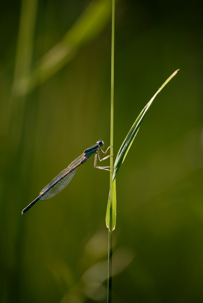 Libellen-X