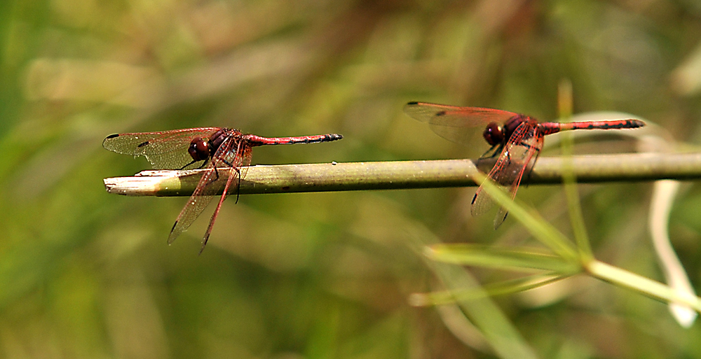 Libellenabflugrampe