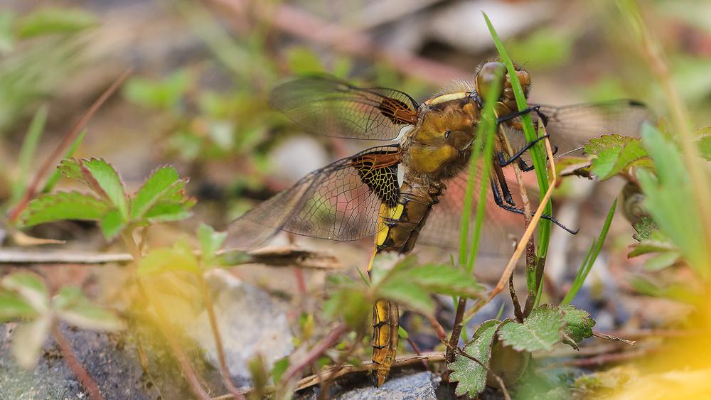Libellenbestimmung