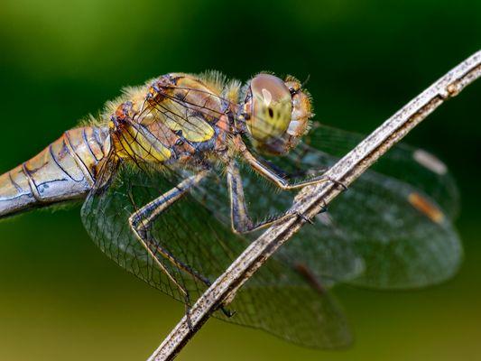 Libellenblick