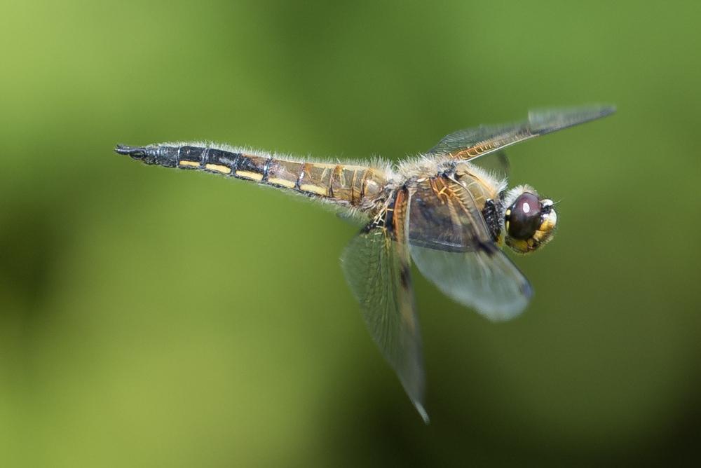 Libellenflug_1