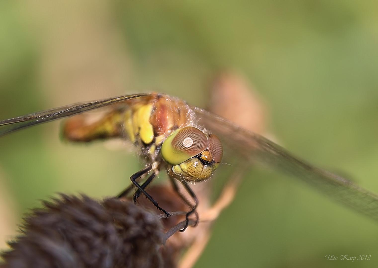 Libellengesicht