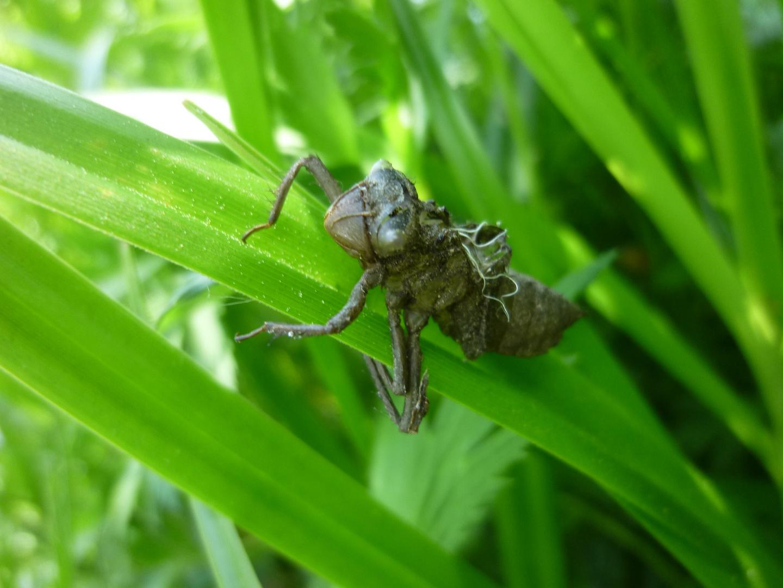 Libellenhülle