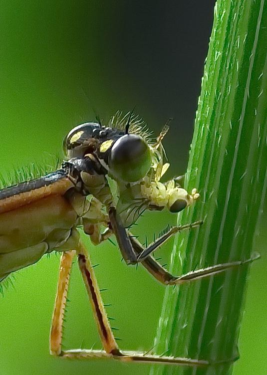 Libellenmahlzeit