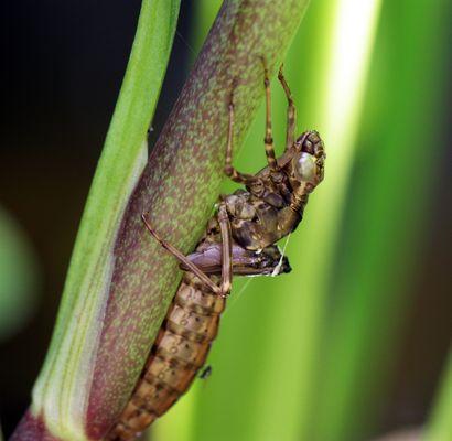 Libellennymphe