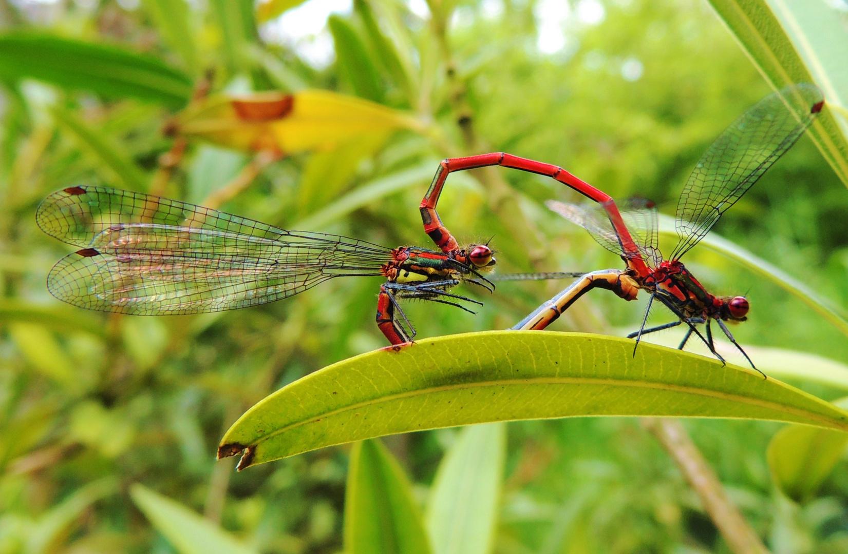 Libellenpaar I